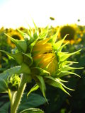 Eautiful green sunflower in the field Royalty Free Stock Photo