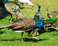 Image of beautiful peacocks in the park closeup Royalty Free Stock Photography