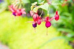 Image of a Beautiful pink Fuchsia magellanica flowers on green stock photos