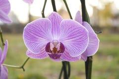 Image of beautiful purple orchid - phalaenopsis Stock Photos