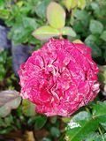 Beautiful Red colour rose flower bud. This image is beautiful Red colour rose flower bud in the morning Royalty Free Stock Photography