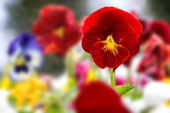 Beautiful Red Pansies stock image