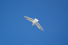 An image of a beautiful seagull in the blue sky Royalty Free Stock Photos