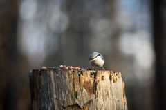 Sitta europaea or The nuthatches constitute a genus, sitting on the stump and pecking seeds in winter on a sunny day. Image of beautiful Sitta europaea stock images