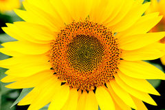 Image of beautiful sunflower Stock Photos