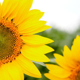 Image of beautiful sunflower Royalty Free Stock Image