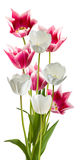Image of beautiful tulips closeup Royalty Free Stock Photo