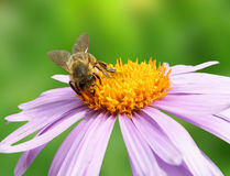 Image of beautiful violet flower and bee Stock Photography