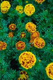 Mexican Marigold stock images