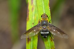 Image of bee fly on a green leaf. Insect. Animal.  Royalty Free Stock Photo