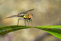 Image of bee fly on a green leaf. Insect. Animal.  Stock Image