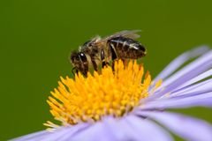 Image of bee or honeybee on violet flower collects nectar. royalty free stock images