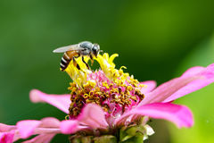 Image of bee on pollen. Insect Royalty Free Stock Image