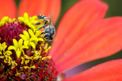Image of bee on pollen. Insect Royalty Free Stock Images