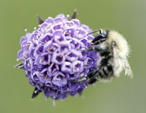 image of a bee on a purple flower Royalty Free Stock Images