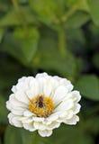 Image of bee on zinnia, close-up Royalty Free Stock Photos