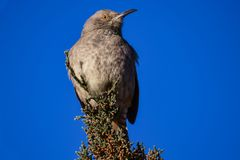 Watchful Bendire`s Thrasher. Image of a Bendires Thrasher perched upon an evergreen bush. Taken in late Spring, at Lake Pueblo Colorado. Bendire`s thrasher Stock Photos