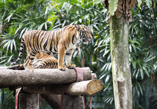 Image Bengal tiger in forest Stock Photos