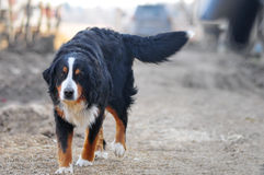 An Image of Bernese Mountain Dog Stock Photos