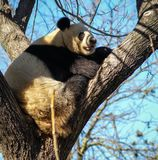 Big black and white panda bear sitting on a tree. Image of big black and white panda bear sitting on a tree stock photography