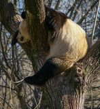 Big black and white panda bear sitting on a tree. Image of big black and white panda bear sitting on a tree royalty free stock photos