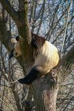 Big black and white panda bear sitting on a tree. Image of big black and white panda bear sitting on a tree stock image