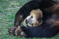 Big black-white panda bear sleeping with paws up give up. Image of big black-white panda bear sleeping with paws up give up royalty free stock photo