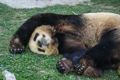 Big black-white panda bear sleeping with paws up give up. Image of big black-white panda bear sleeping with paws up give up stock photo