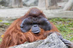 Image of a big male orangutan. Royalty Free Stock Image