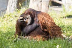 Image of a big male orangutan orange monkey on the grass. Stock Image