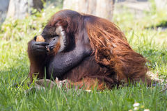 Image of a big male orangutan orange monkey on the grass. Royalty Free Stock Photography