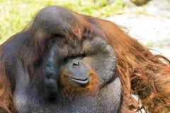 Image of a big male orangutan orange monkey. Royalty Free Stock Photo
