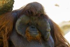 Image of a big male orangutan orange monkey. Stock Photography