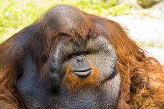Image of a big male orangutan orange monkey. Royalty Free Stock Photo
