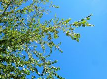 Birch Betula Tree against Brilliant Blue Sky. This is an image of Birch tree branches against a brilliant blue morning sky. It is spring. The leaves are bright stock images