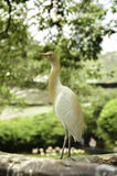 Image of bird at bird park, blur and soft background at day ligh. Image of cattle egret (Bubulcus ibis) bird at Kuala Lumpur Bird Park. Blur and soft Royalty Free Stock Images