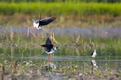 Image of bird black-winged stilt Himantopus himantopus on nat Royalty Free Stock Photography