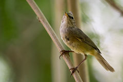 Image of bird Common Tailorbird. On natural background royalty free stock photo