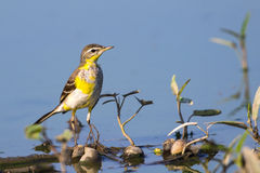 Image of Bird Eastern Yellow Wagtail. Image of Bird Eastern Yellow Wagtail Motacilla tschutschensis  Wild Animals Stock Images