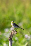 Image of Bird Eastern Yellow Wagtail. Image of Bird Eastern Yellow Wagtail Motacilla tschutschensis  Wild Animals Royalty Free Stock Images