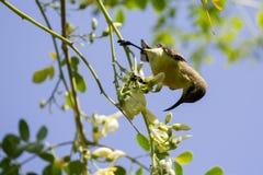 Image of bird Olive-backed sunbird, Yellow-bellied sunbird. Stock Photos