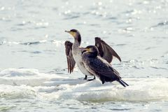 Bird of Phalacrocorax auritus floating on an ice floe on a river. Image of a bird of Phalacrocorax auritus floating on an ice floe on a river Stock Image