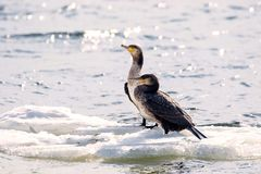 Bird of Phalacrocorax auritus floating on an ice floe on a river. Image of a bird of Phalacrocorax auritus floating on an ice floe on a river Royalty Free Stock Photo