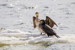 Bird of Phalacrocorax auritus floating on an ice floe on a rive. Image of a bird of Phalacrocorax auritus floating on an ice floe on a river Stock Photo