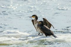 Bird of Phalacrocorax auritus floating on an ice floe on a rive. Image of a bird of Phalacrocorax auritus floating on an ice floe on a river Stock Photography