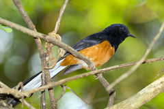 Image of birdmale on the branch on nature background. Wild Animals.White-rumped shama Royalty Free Stock Images