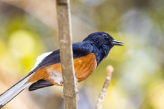 Image of birdmale on the branch on nature background. Wild Animals.White-rumped shama Stock Photography
