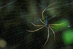 Image of Black Orb-weaver Spider. Stock Photos