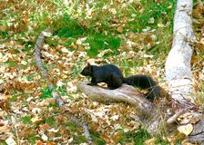 Image of Black Squirrel in the Woods. Alberta, Canada royalty free stock photos