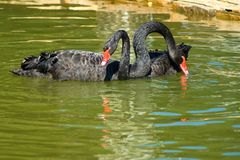 Image of black swans on the water Stock Image